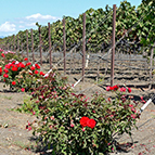 napa vineyard roses